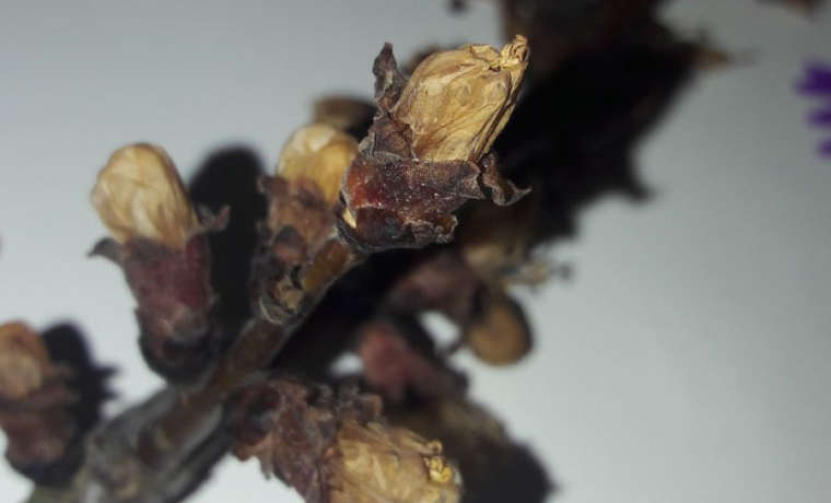 Freddo e gelo, l'80% della frutta primaverile ne ha risentito