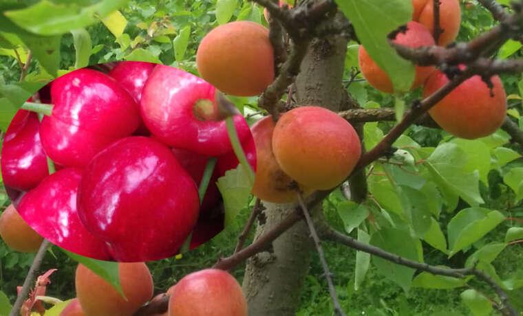 Albicocche e ciliegie: è arrivato il loro tempo